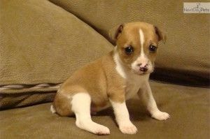 rat terrier puppies near me | Rat terrier puppies, Rat ...