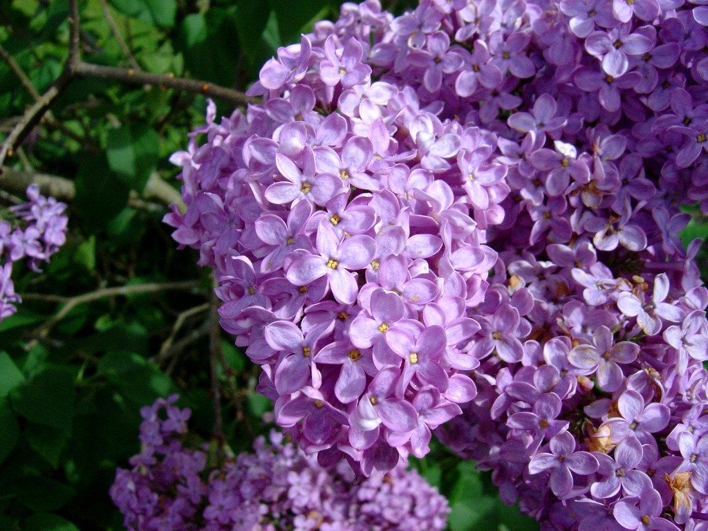 Http Upload Wikimedia Org Wikipedia Commons 8 8d Lilac Flowers1 Jpg Most Popular Flowers Flower Pot Design Pictures Of Spring Flowers