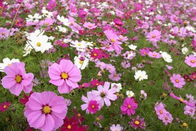 Cosmos Sensation Mix Grow Cosmo Garden Flowers Includes 1 Preseeded 17 X 5 Flower Seed Mat Simply Roll Out Plant And Spring Plants Cosmos Flowers Garden Mats