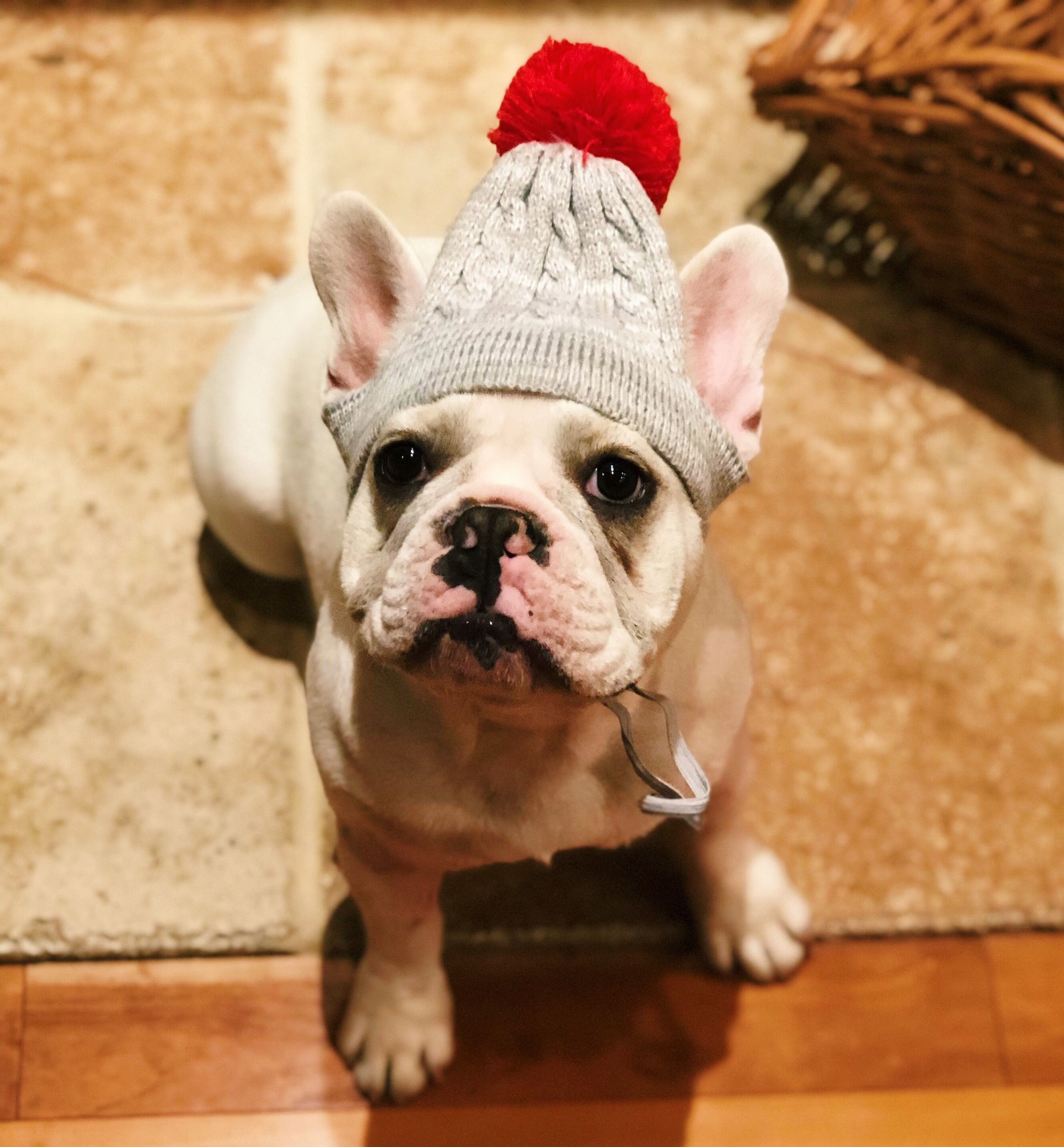 Pin By Teri L On Frenchie Fun French Bulldog Animals Dogs