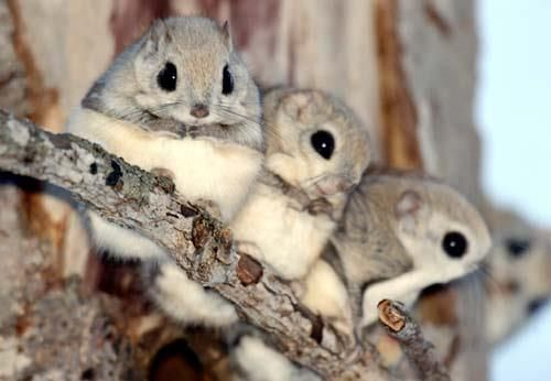 Aren't they adorable! OMG! These guys are Siberian flying squirrels.