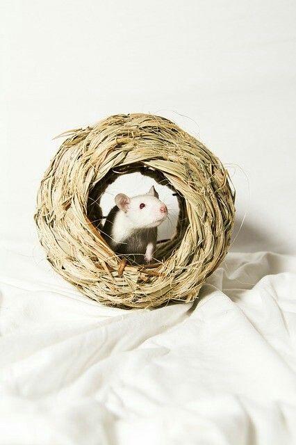 Albino Ratte Im Heu Nest Farbratten Ratte Haustier Ratten