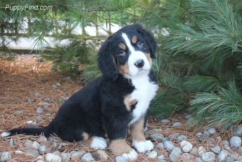 Puppies For Sale At Puppyfind Com Puppies Dogs Puppies For Sale