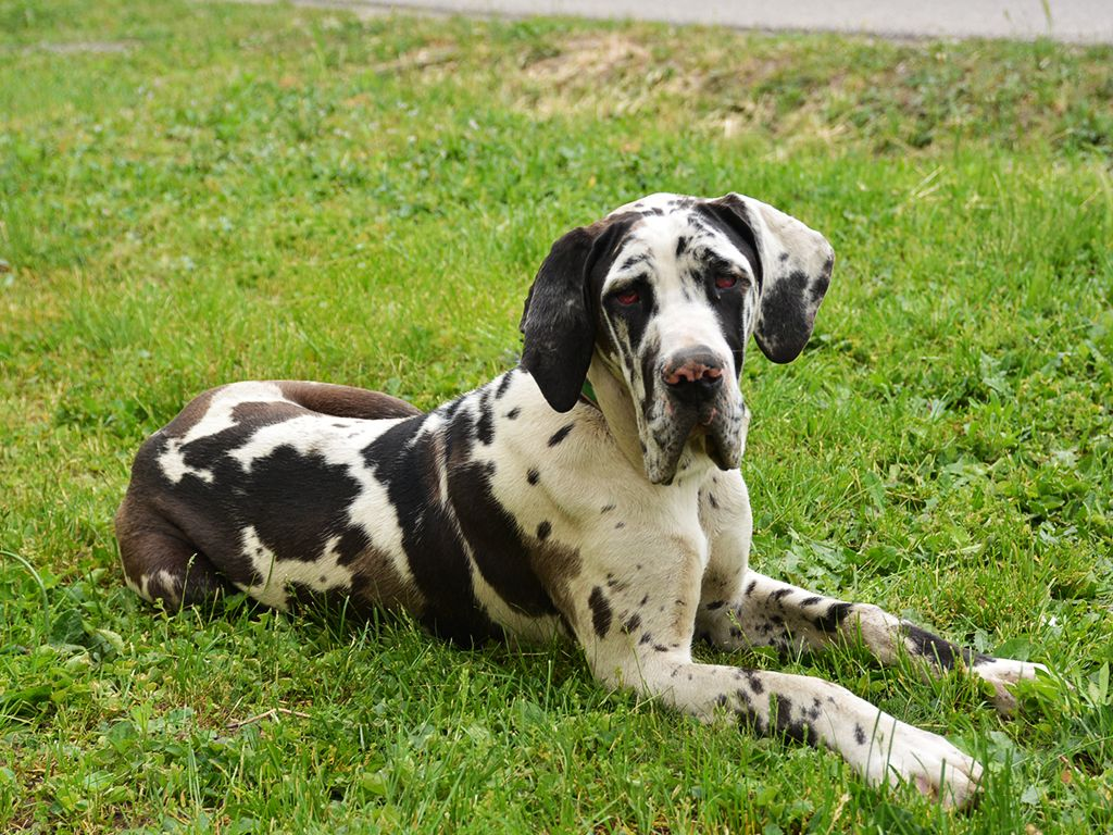 Great Dane Great Dane Puppy Puppies Dogs