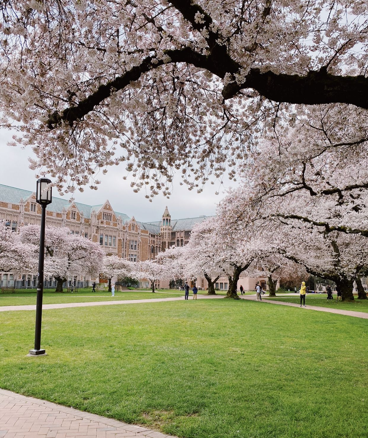 Uw Cherry Blossoms Cherry Blossom Tree Cherry Blossom Blossom Trees