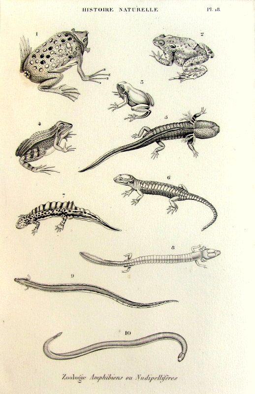 1852 Vintage amphibian engraving original by LyraNebulaPrints ...