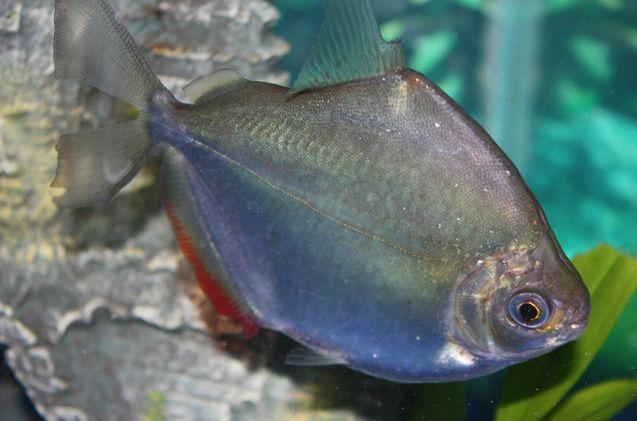 Silver Dollar Petguide Freshwater Fish Fish Tropical Fish