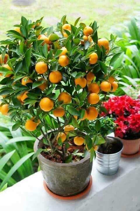 Pequeño Naranjo Cultivo De Plantas Frutales En Maceta Arboles Para Jardin