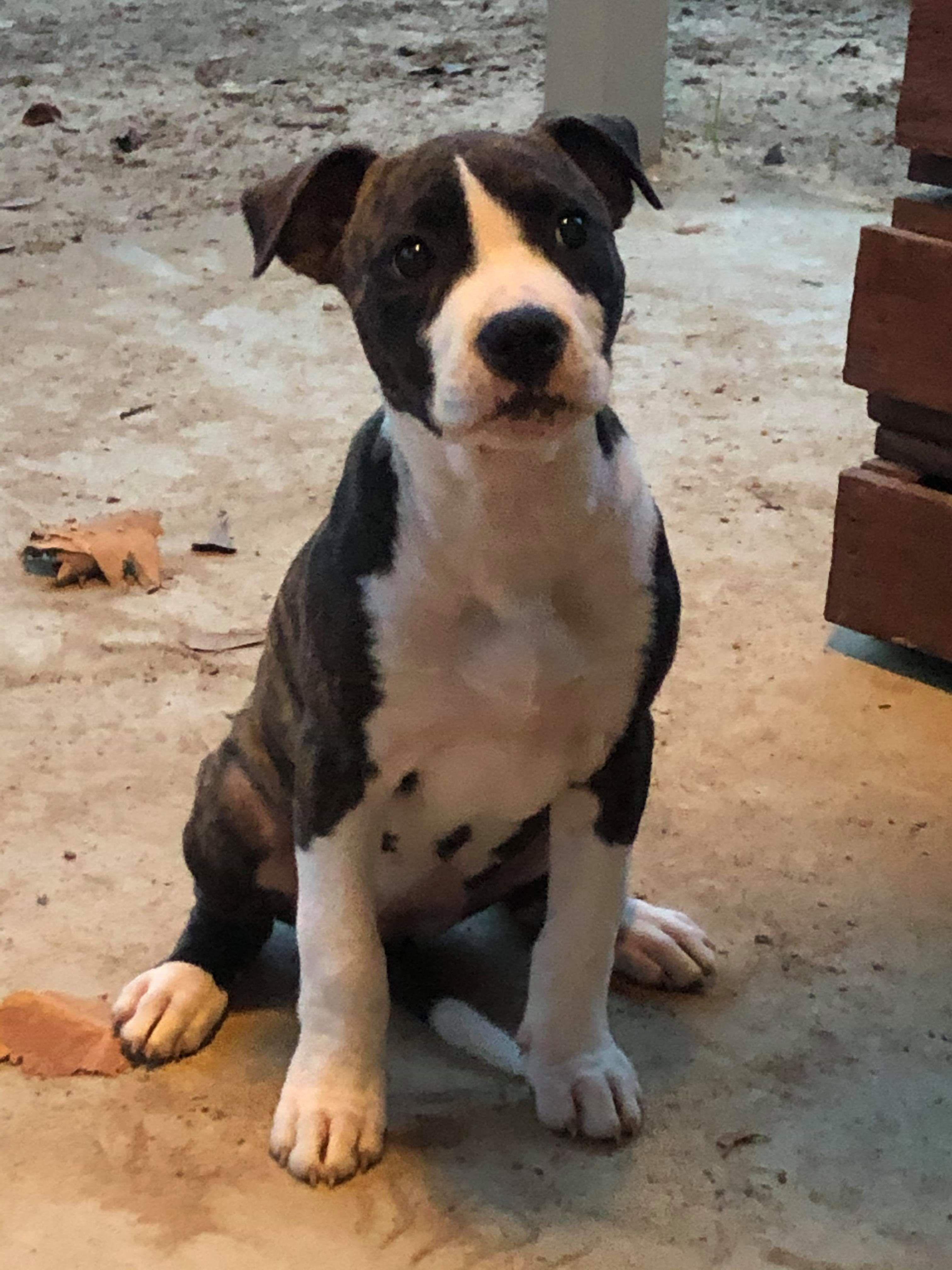 Adopt Ariel On Animal Rescue Bully Dog Adoption