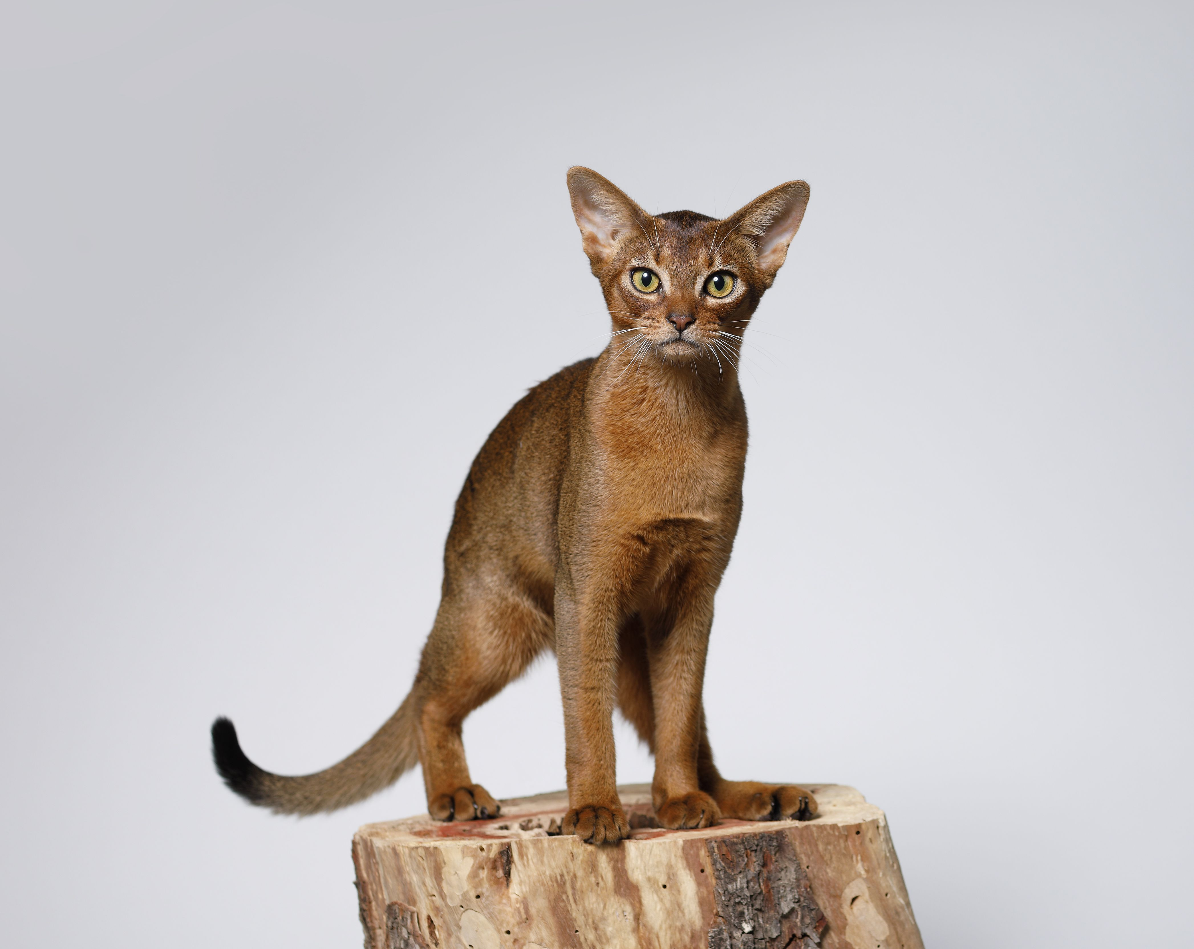 The Most Intelligent Cat Breeds to Keep as Pets Cat