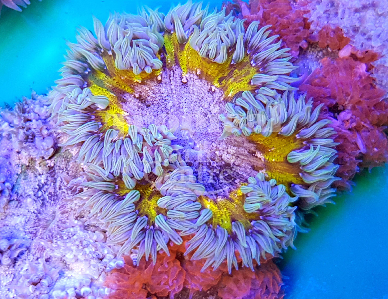 Rock Flower Anemones Tmc Tropicalmarinecentre Tmclookforthelabel Rockanemone Rockfloweranemone Rocknem Rf Saltwater Tank Coral Garden Saltwater Aquarium