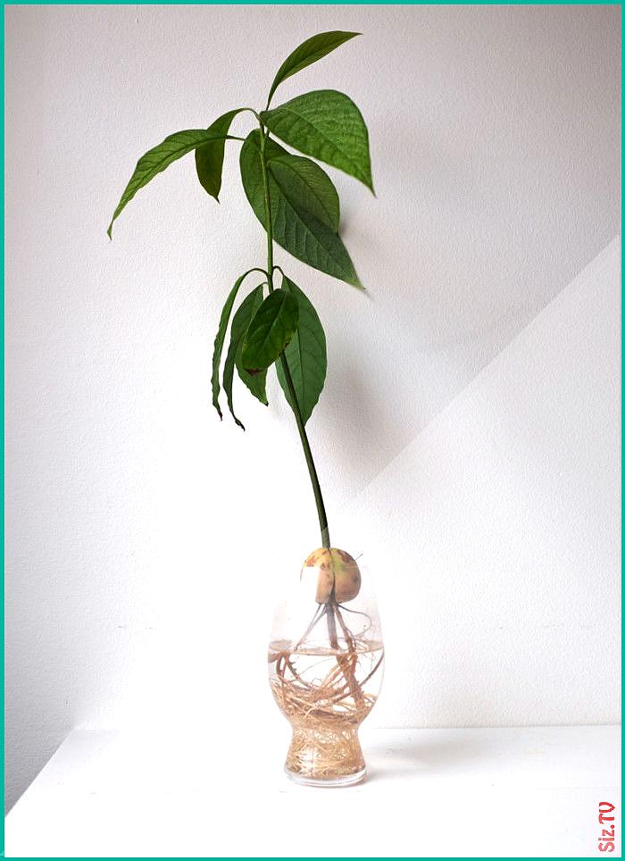 Avocadobaum eigenen Ihren Plants Roomed Sie Z chten  avocadobaum avocadobaum z chten avocado eigene