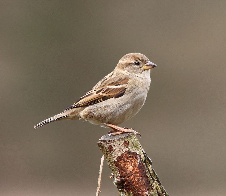 House Sparrow Female 3