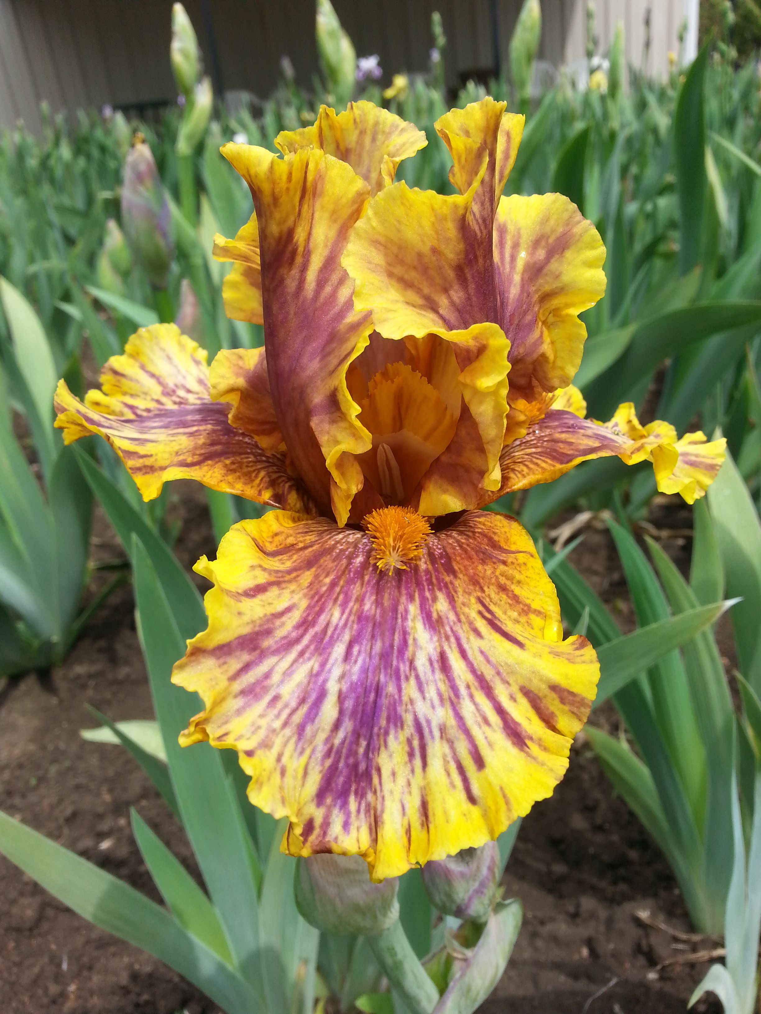 Infernal fire iris flowers and gardens infernal fire izmirmasajfo Gallery