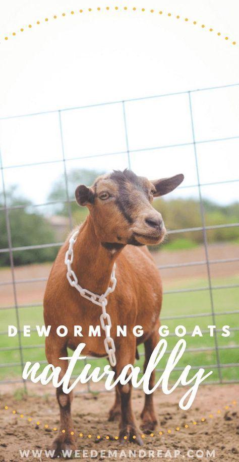A Natural Goat Dewormer that works  Weed em & Reap