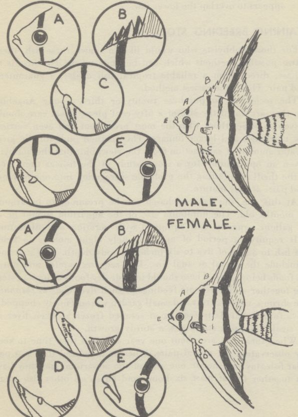 Angel Fish Male Female Difference Sexing The Angelfish And Male