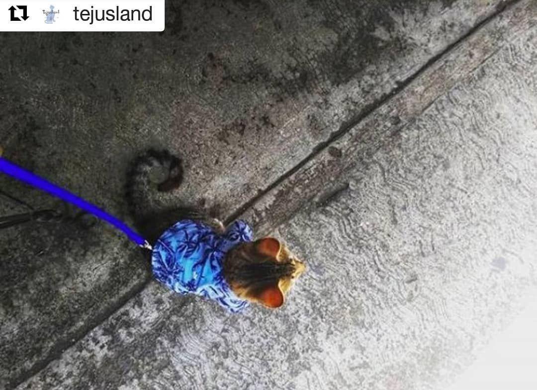 El amor a los gatos y el poder ayudar a quien hace una labor increíble en su cuidado y rescate, son las razones para nuestro proyecto @Tejusland.  Creamos camisitas y pecheras para gato.  A mano y con mucho amor.  Y promovemos la hermosa labor de @gatitos_tlatelolco, chequen su página para ver todos los gatitos rescatados que están buscando un hogar.   Repost @tejusland (@get_repost) ・・・ Gato paseador ... y con camisita😎 😸 ⠀ Happy Sunday⠀ ⠀  ladycamisitas  sisoyungatoconcorrea⠀ ·⠀ ·⠀ ·⠀ ·⠀ · ⠀