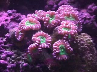 Sps Lps Hard Corals 101 With Pictures Coral Reef Aquarium Hard Coral Reef Aquarium