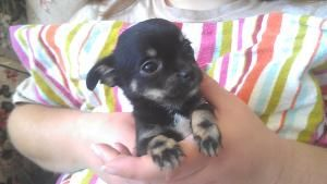 Sprite is an adoptable Chihuahua Dog in Leslie, AR. *** Sprite is only marked as 'no small children' due to her TINY size, and currently she has an open fontanelle*** These little peanuts were recentl...