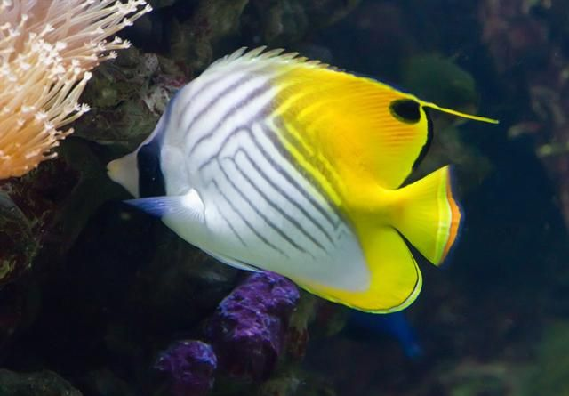 Threadfin Butterflyfish Aquarium Fish Marine Fish Beautiful Fish