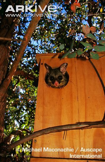 Common Brushtail Possum Looking Out Of Artificial Nest Box In Suburban Garden Australian Possum Animals Nesting Boxes