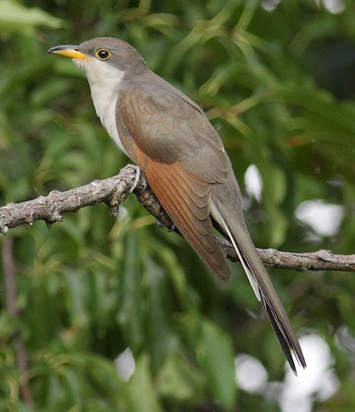 Yellow Billed Cuckoo Coccyzus Americanus