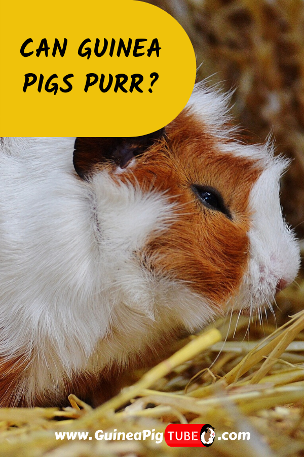 Pin On Guinea Pig Sounds Noises And Body Language