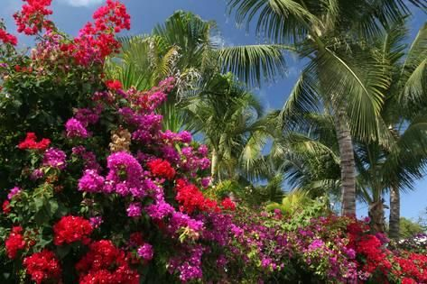 Photographic Print Palm Bougainvillea By Robert Goldwitz 24x16in Bougainvillea Palm Framed Artwork