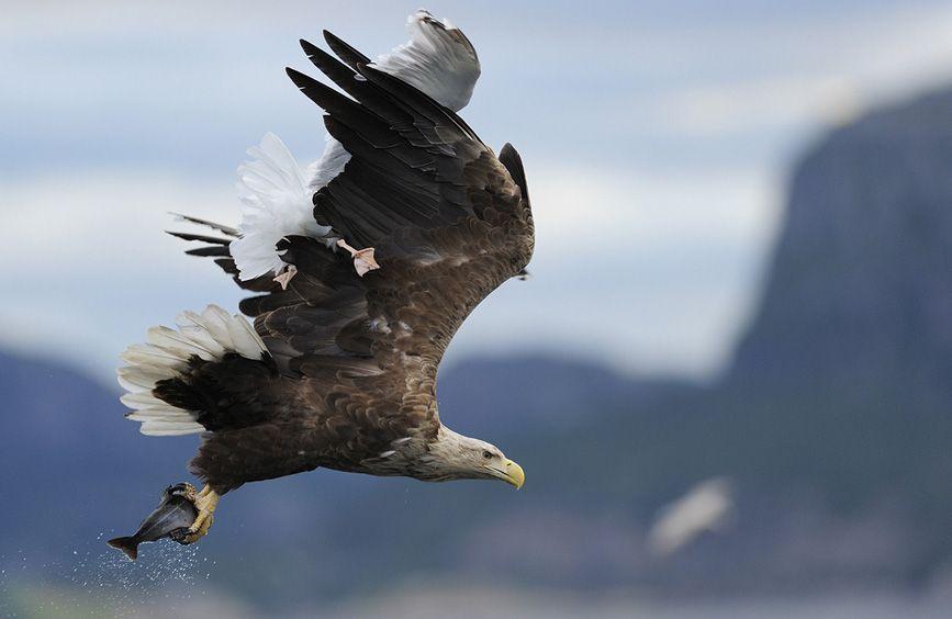 White-tailed Sea Eagle, Haliaeetus albicilla, and Herring gull, Larus argentatus, Flatanger, Norway  © Staffan Widstrand