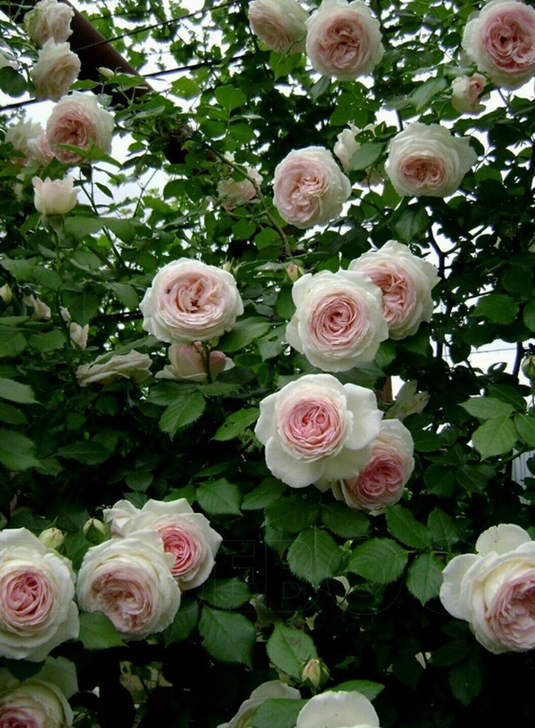 розы плетистые фото с названием сорта скупаю