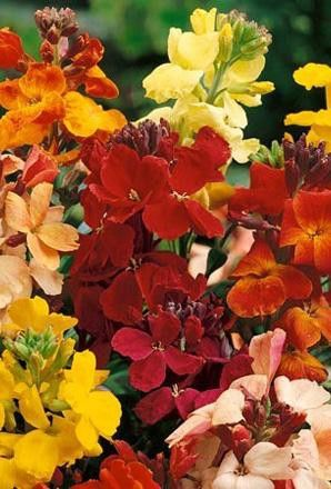 Wallflower plants Tall Mixed bare root bedding x15 - Fantastic to plant in the Autumn and see great colour in March.