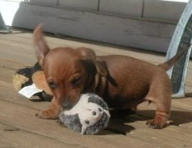 Cute Dachshund Pictures Dachshund Pictures Dachshund Lovers
