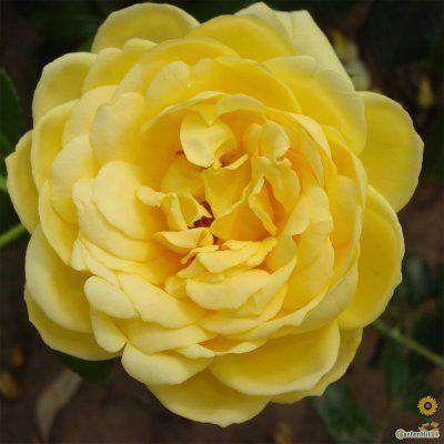 Rosa \'Marselisborg\'®