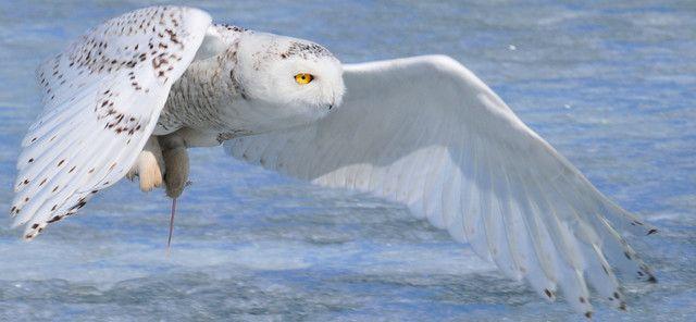 snowy owl flying - Google Search