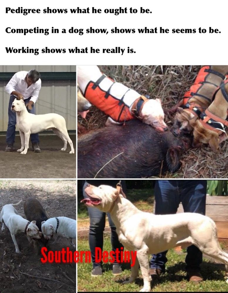 Pin By Dogos Of Southern Destiny On Dogos Of Southern Destiny Dog Show Dogs Animals