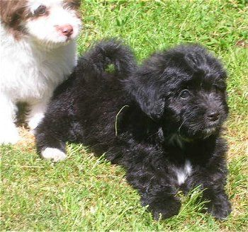 Papi Poo Dog Breed Information And Pictures Papillon Poodle