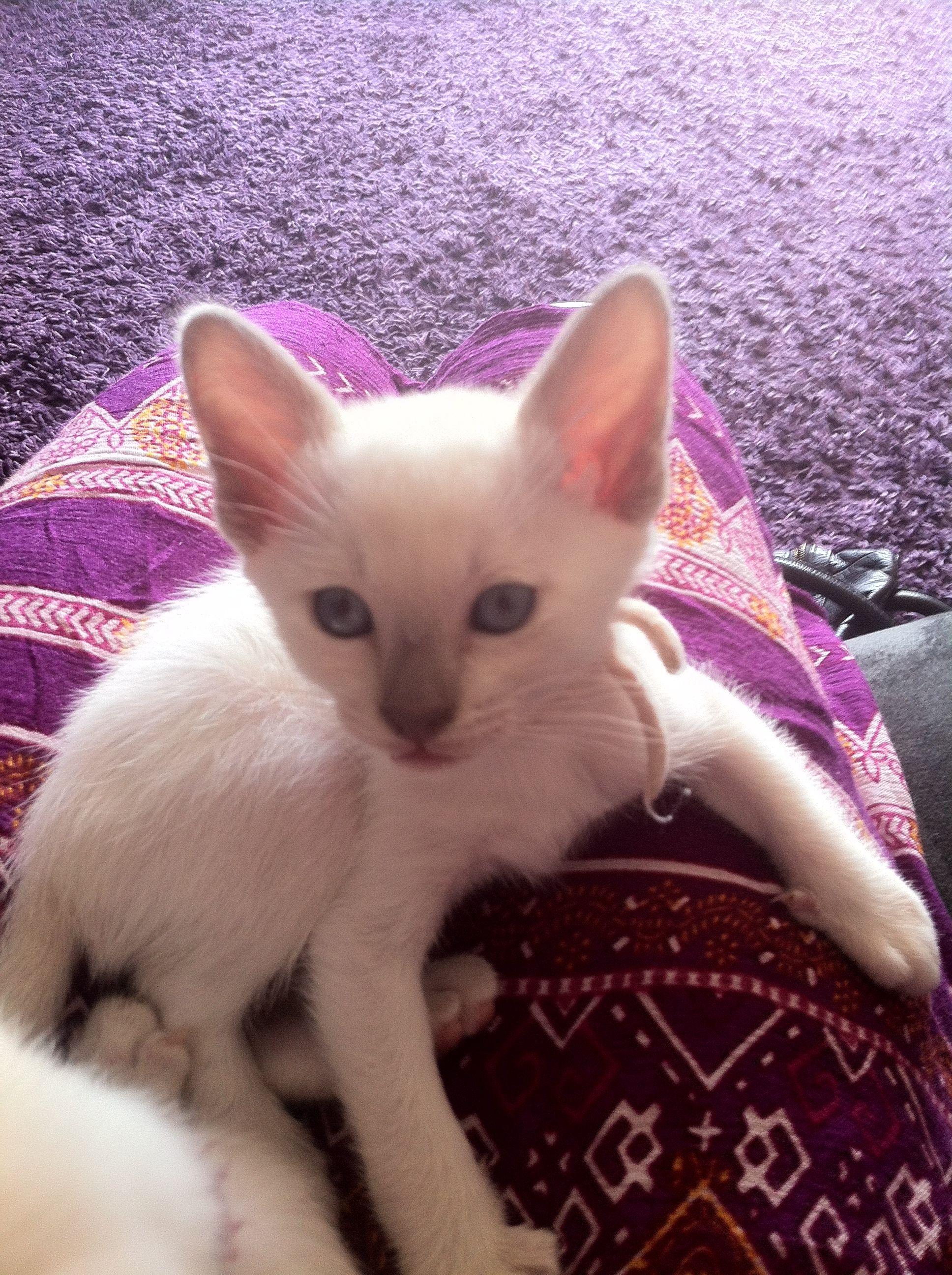 6 Week Old Lilac Point Tonkinese Kitten Tonkinese Kittens Kittens Cutest Tonkinese Cat