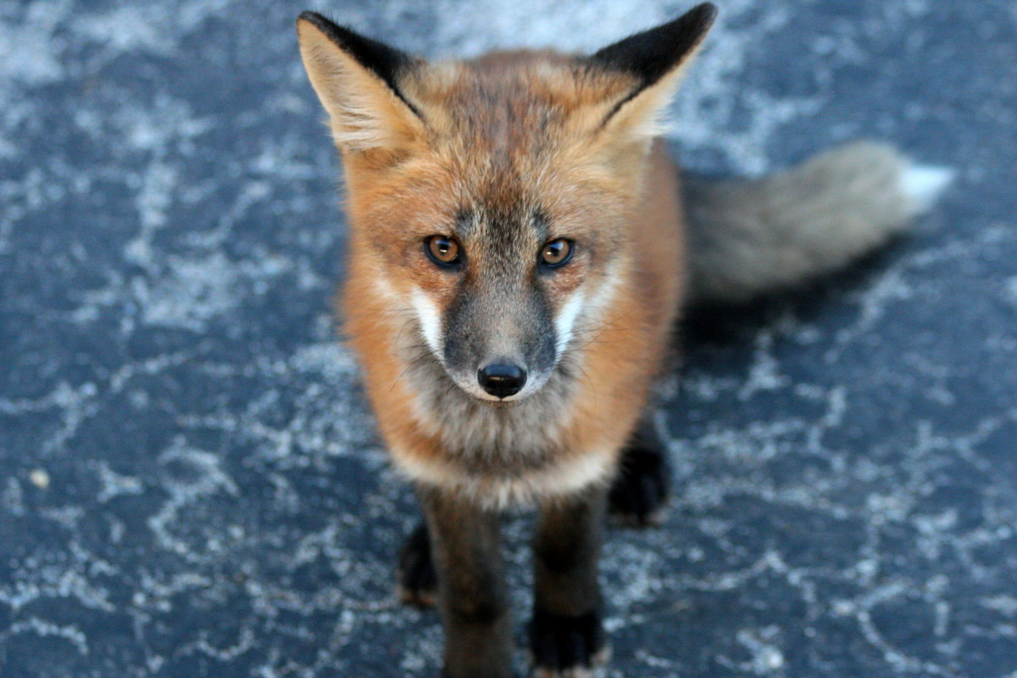 Heartbreaker | Foxes | Red fox, Swift fox, Bat eared fox