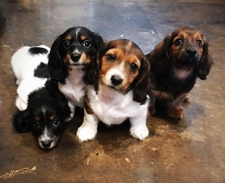 Litter Of 3 Dachshund Puppies For Sale In San Antonio Tx Adn