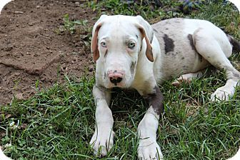 Pin By Barry Stritton On Great Dane West Milford Great Dane Mix