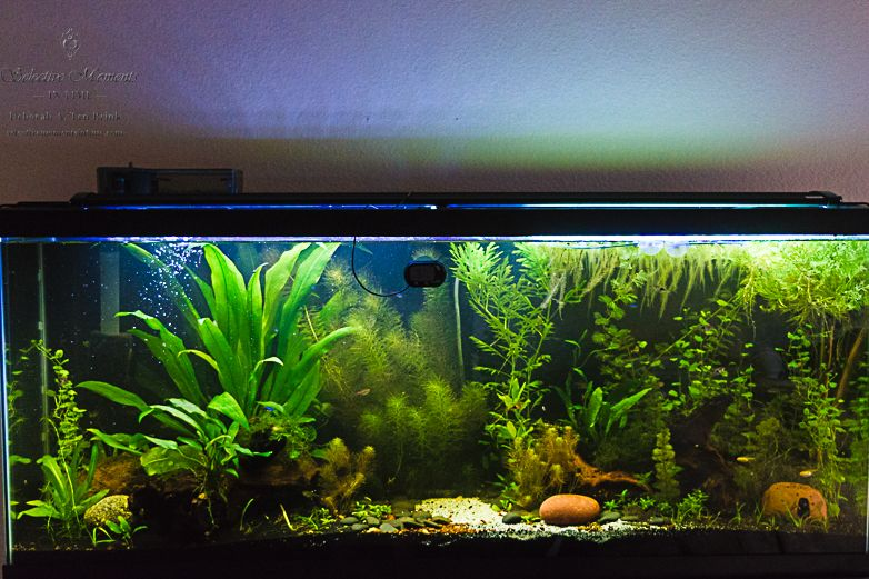 Day 65 Of My Natural Planted Low Tech 55 Gallon Tropical Freshwater Community Tank Aquarium Setup Home Aquarium Freshwater Aquarium