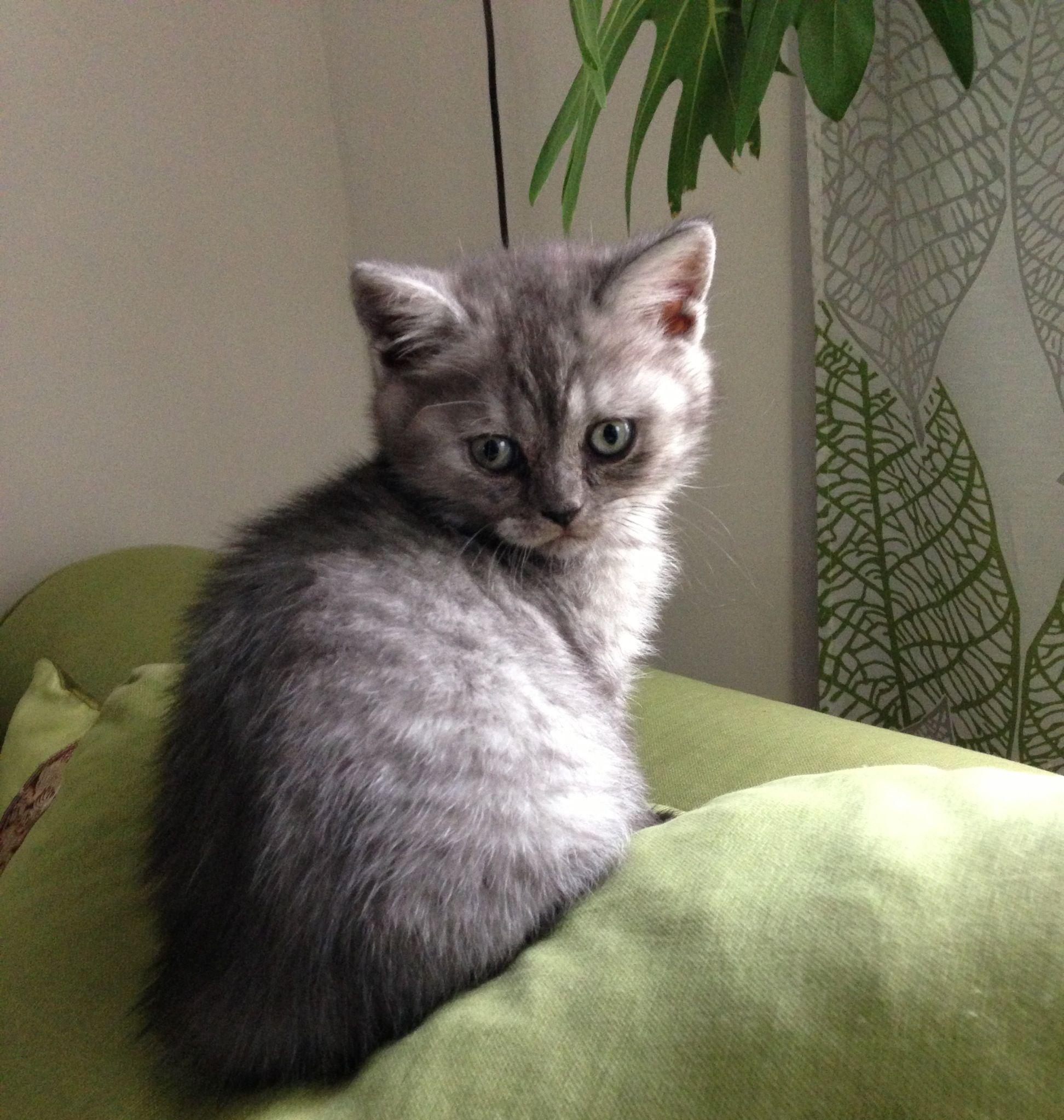 Helmut British Shorthair Kitten 6 Weeks British Shorthair Kittens Cute Cats And Kittens British Shorthair
