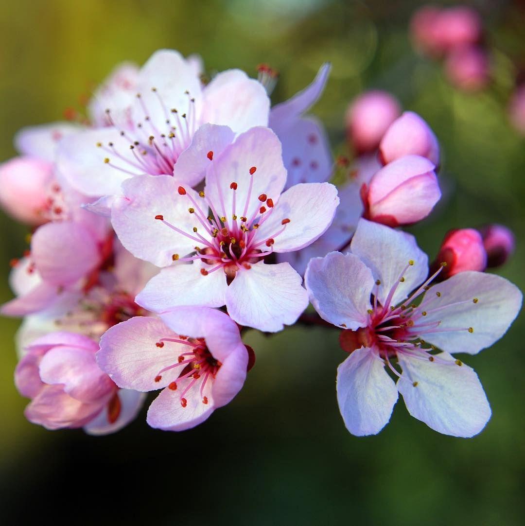 Prunus Cherry Blossom Flower Flowers Flowerporn Flowermagic Flowerslovers Flowers Flowerstagram Flow Cherry Blossom Flowers Sakura Flower Cherry Flower
