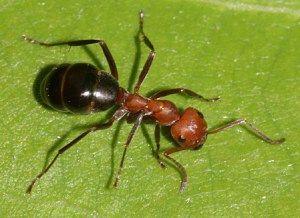#formica faraone come scacciare le formiche dal giardino https://aziendafloricoladonetti.wordpress.com/2015/06/24/le-formiche/