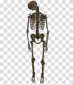 Skeleton Hanged 1 Human Skeleton Model Transparent Background Png Clipart Human Skeleton Model Human Skeleton Human Skeleton Anatomy