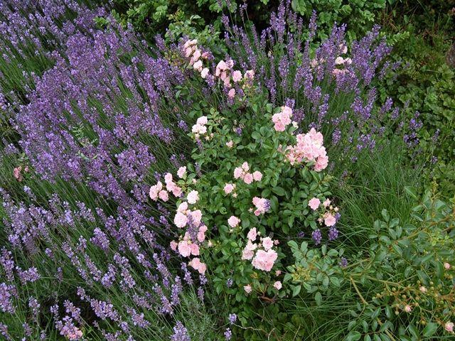 fotomein-schoener-gartende im-Vorgarten-in-voller-Bluete - mein schoner garten vorgarten