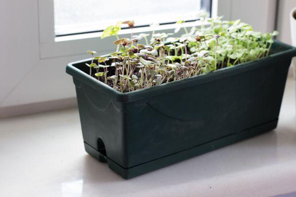 Как вырастить базилик из семян дома на подоконнике