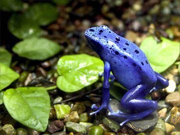 The blue poison dart frog (Dendrobates azureus) of South America is one of the most brilliantly colored animals on the planet.