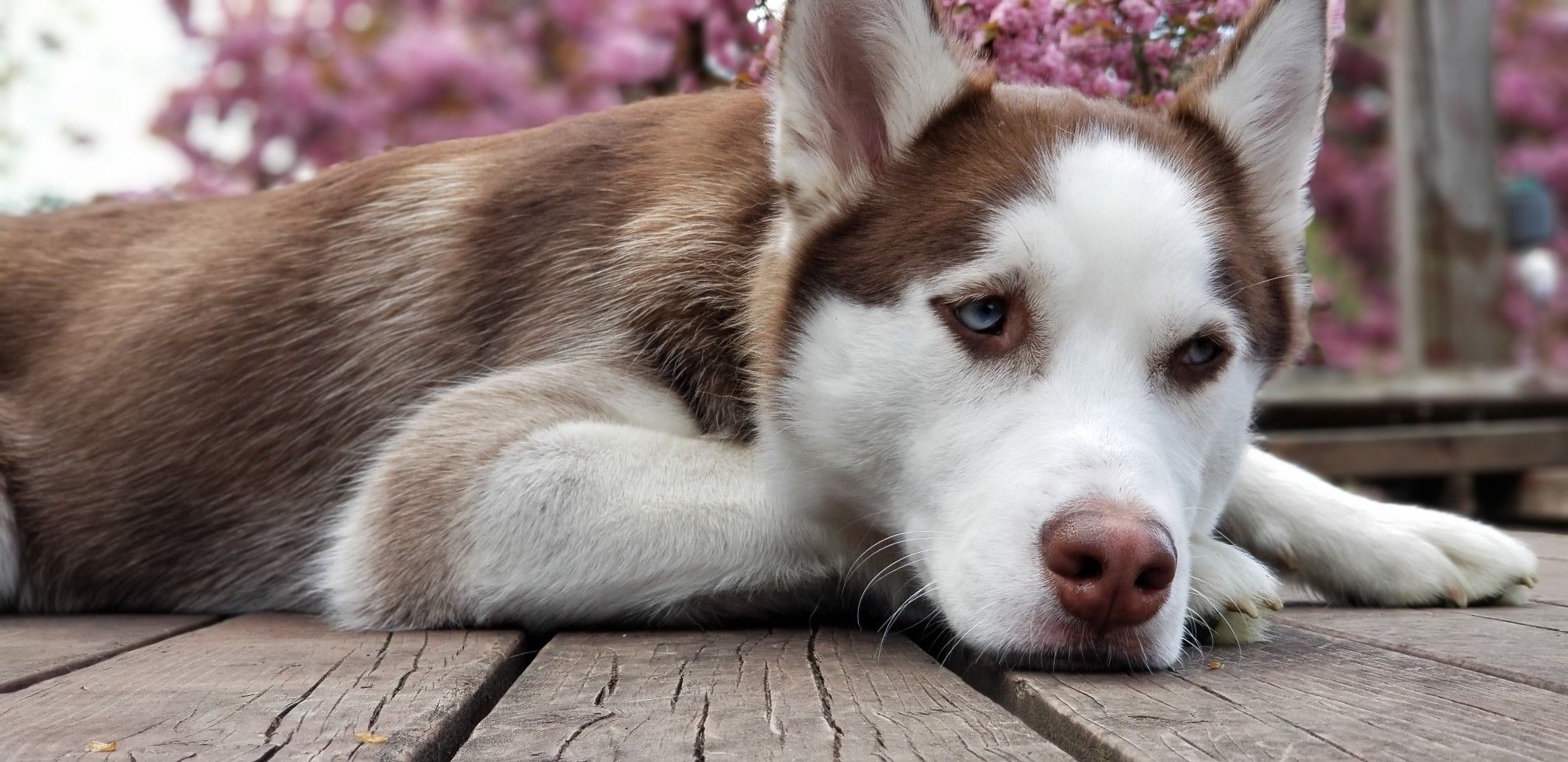 Husky Puppy Cost In Canada 2021
