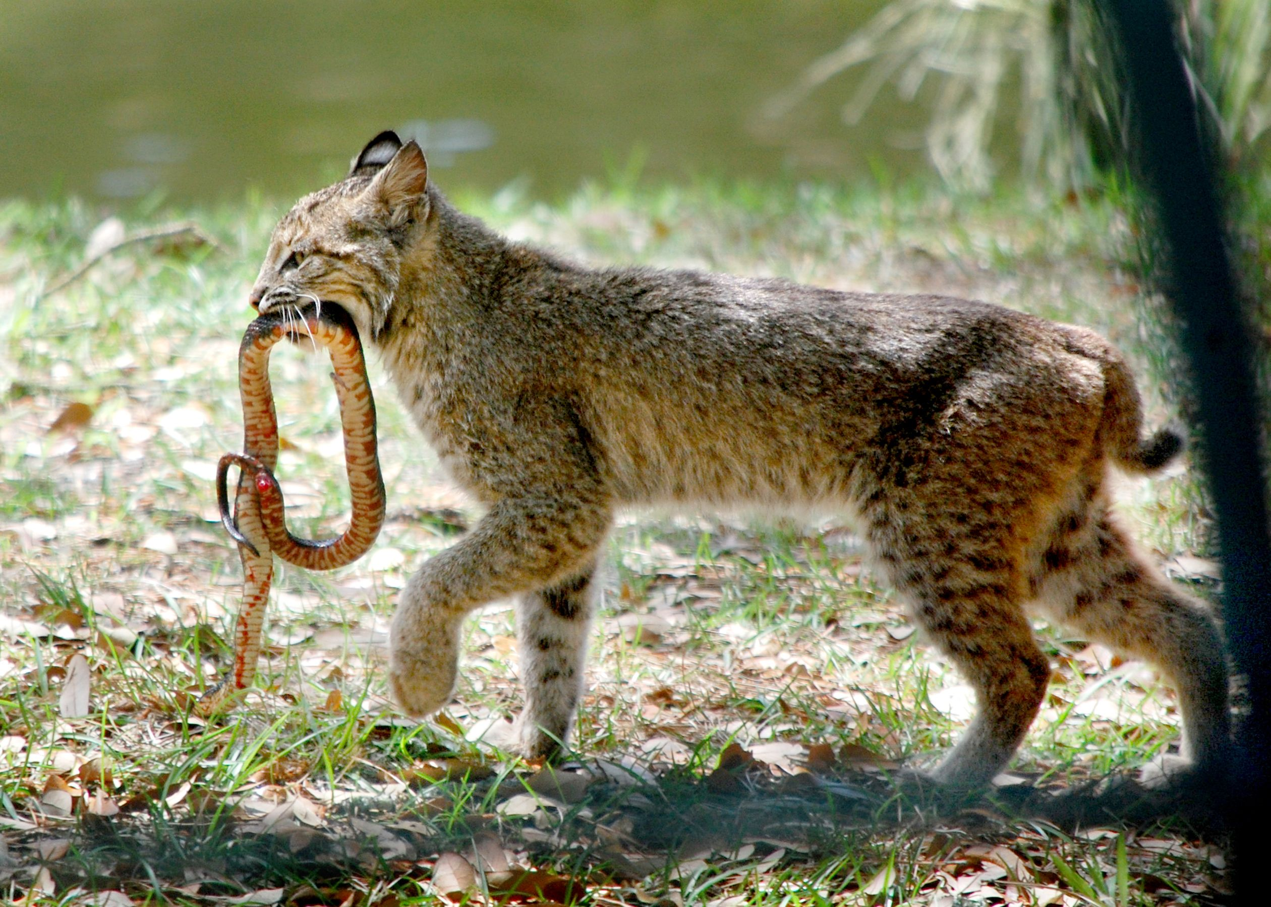Outgoing IL Gov Vetoes Bobcat Hunting Bill Despite DNR